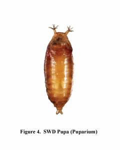 Fruit Fly Pupae
