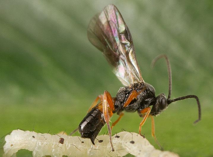 Wasp_parasitizing