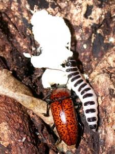 columnsbeetle&larvaepic2005 561[1]