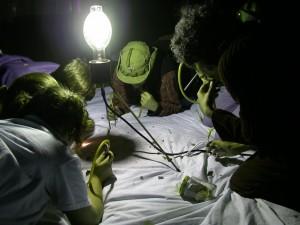 sapelo b-light closeup