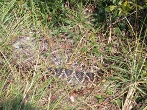 sapelo_snake1