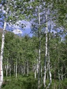 utah-aspen-grove