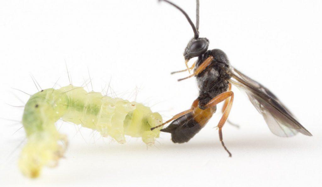 Microplitis demolitor stinging host