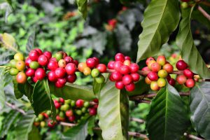 The berries of a coffee tree. Ripe berries are red.