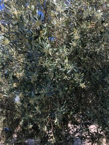 small olives on an olive tree