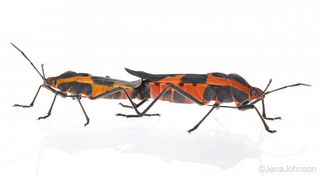 Image of a pair of black and red insects mating against a white background