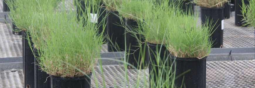 Turfgrass in pots