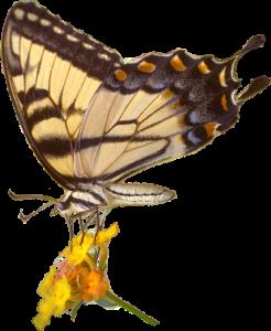 swallowtail Lantana